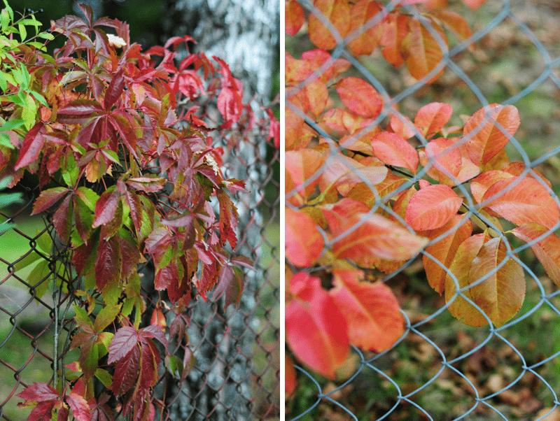 złota jesień czerwone liście polska
