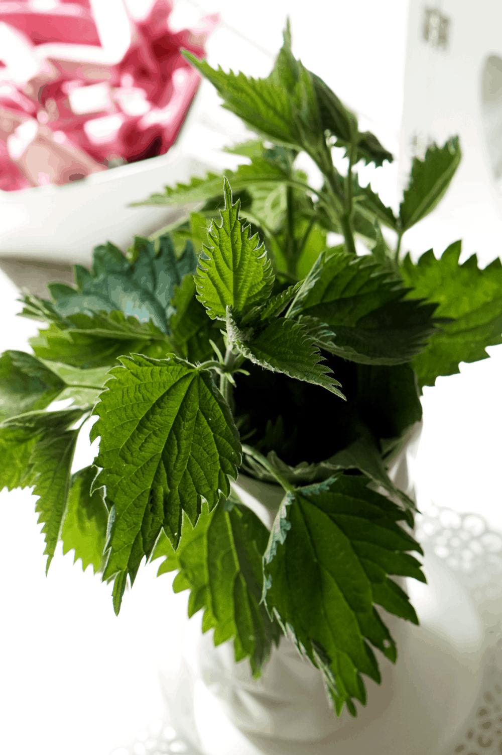 Majowa pokrzywa – dlaczego warto ją wykorzystać i co można z niej zrobić. Sok, herbata a może płukanka z pokrzyw?